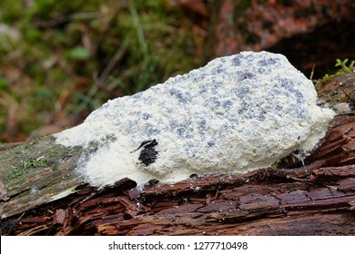 Fuligo septica var. candida, commonly called dog vomit slime mold, scrambled egg slime mold, or flowers of tan