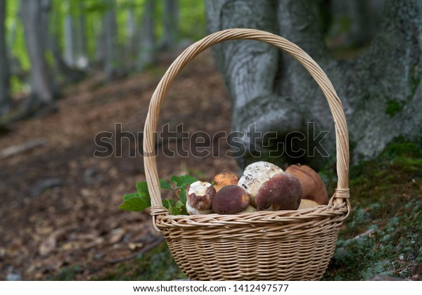 Full basket of edible mushrooms in the forest. Some pine bolete and orange birch bolete on the top. Beech forest on the background. Natural environment.