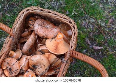 Full basket Saffron milk cap (Lactarius deliciosus) mushroom.