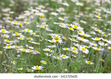 Full bloom of chamomile flowers.camomile. Field of camomiles at sunny day at nature. Camomile daisy flowers, field flowers, chamomile flowers