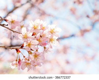 Full bloom cherry blossom with clear sky, selective focus