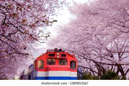 Full bloom of cherry blossom festival at Gyeonghwa railway station, Jinhae, South Korea
