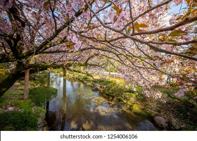 "Full bloom cherry blossom in Kenrokuen Garden, one of Japan's ""three most beautiful landscape gardens locate in Kanazawa, Japan"