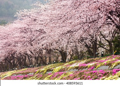 Full bloom cherry blossom with pink moss foreground at Kawaguchiko north shore lake, Japan