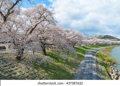 The full bloom Cherry blossom (Sakura) trees along the bank of Shiroishigawa river in Miyagi, Japan. This place called Hitome Senbon Sakura (meaning one thousand Cherry blossom trees in one glance).