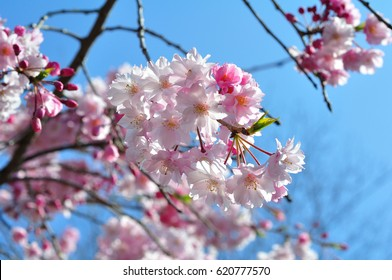 full bloom cherry blossoms from Japan- weeping cherry tree