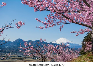 In full bloom with cherry blossoms in winter, February  This sakura is another specie, and different from Sakura in April.