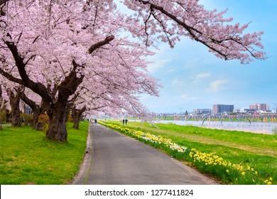 Full Bloom Cherryblossom Sakura at Kitakami Tenshochi Park in Kitakami, Iwate, Japan