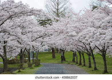 The full bloom Cherry-blossom trees in Tsuruoka park,Yamagata prefecture, Japan. Tsuruoka park is included in the best 100 selection of cherry blossoms (Sakura) of Japan.