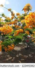 Full bloom flamboyant tree by the supermarket in aruba