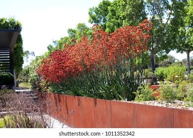 Full bloom Kangaroo paw flowers