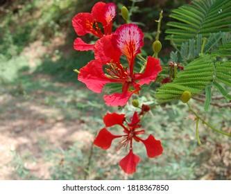 In full bloom of Krishna chura