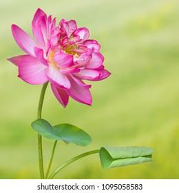 Full bloom of a lotus flower named Lotus Nelumbo Elite Red