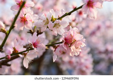 In full bloom in the peach blossom