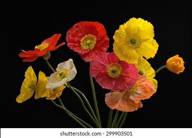 Full bloom Pink yellow white orange and Red Poppy Flowers Isolated on black background, studio shot large Depth of Field