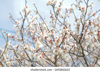 Full bloom plum tree flowers