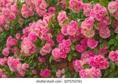Full bloom of Pretty Pale Pink Climbing Roses background. Beautiful Sweet Rambling Rose Flower (Rosa Super Fairy, Mannington Mauve Rambler) pattern in Uminonakamichi garden ,Fukuoka , kyushu ,Japan.
