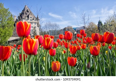 Full bloom red tulips in front Chateau Laurier in Ottawa, Ontario, Canada
