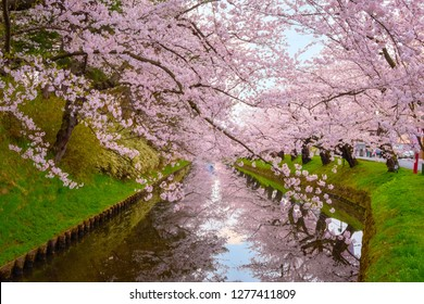 Full bloom Sakura - Cherry Blossom at Hirosaki park in Japan