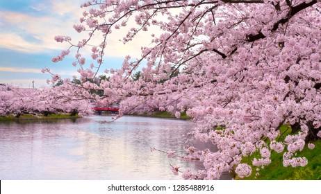 Full bloom Sakura - Cherry Blossom at Hirosaki park, in Japan - Shutterstock ID 1285488916
