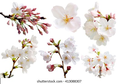 Full bloom sakura flower isolated (Cherry blossom) with clipping path