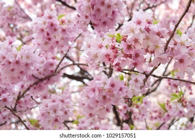 Full bloom sakura in japan, Cherry blossom, Japanese Spring Flower Sakura, Pink Cherry Flower. - Shutterstock ID 1029157051