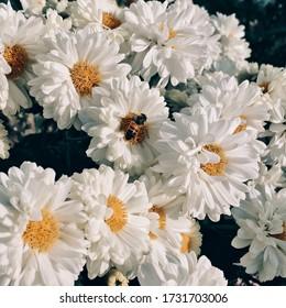 Full bloom Shasta daisies in mid summer