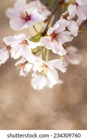 Full bloom spring tree with a bokeh background and copy space.