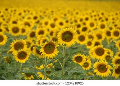 Full bloom sunflower field , natural landscape
