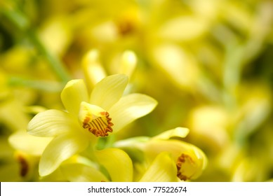 Full bloom of yellow orchid flower