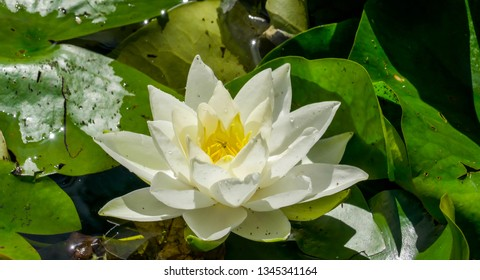 The full bloomed white flower of the water lily. Nymphaea alba also known as the European white water lily white water rose or white nenuphar is an aquatic flowering plant of the family Nymphaeaceae.