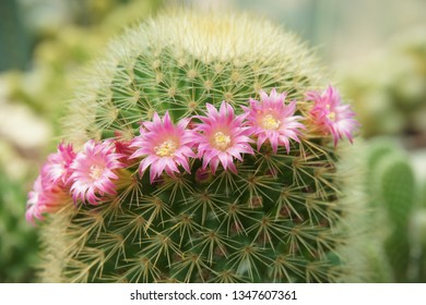 Full blooming cactus flower ,pink Mammillaria flower like a beautiful lady