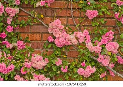Full blooming of Pretty Pale Pink Climbing Rose with red brick wall background.