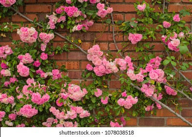 Full blooming of Pretty Pale Pink Climbing Rose with red brick wall background. Beautiful Sweet Rambling Rose Flower (Rosa Super Fairy, Mannington Mauve Rambler) in Uminonakamichi garden,Fukuoka,Japan