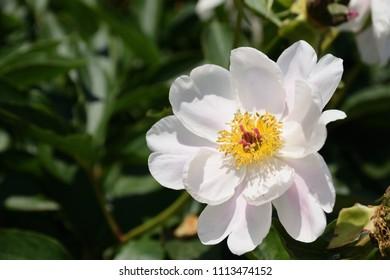 "Full blown chinese peony - Paeonia lactiflora. It is called ""Shakuyaku"" in Japan."