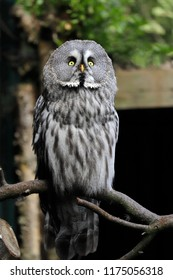 Full body of adult great grey owl (Strix nebulosa) on the tree branch. Photography of nature and wildlife.