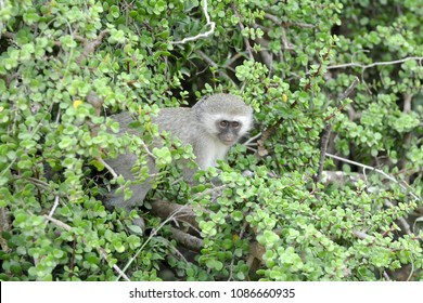 Full body of an African Blue Vervet monkey (Chlorocebus pygerythrus) with attentive facial expression sitting in a Spekboom tree and staring.