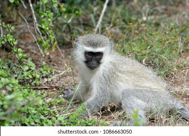 Full body of an African Blue Vervet monkey, Chlorocebus pygerythrus, with observant facial expression sitting and staring.