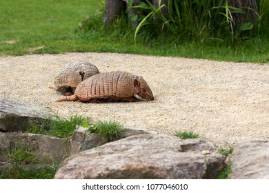 Full body of armadillos paar. Macro photographie of nature.