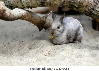 Full body of beige-grey domestic pygmy rabbit (bunny) eating a tree leaf, Photography of nature and wildlife.