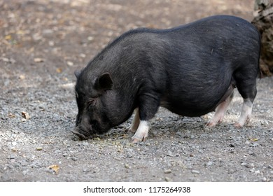Full body of black pig breed Vietnamese Pot-bellied.  Photography of nature and wildlife.