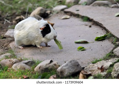 Full body of black-white-brown domestic guinea pig (Cavia porcellus) cavy eating a tree leaf. Photography of nature and wildlife.