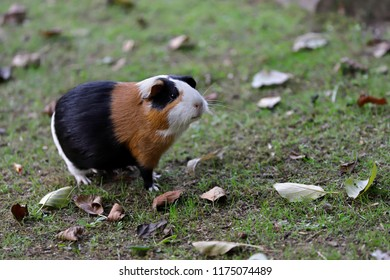Full body of black-white-brown domestic guinea pig (Cavia porcellus) cavy. Photography of nature and wildlife.