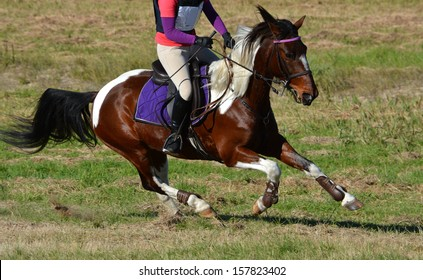 Full body of a brow and white horse galloping on a cross country course during an eventing weekend.