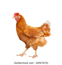 full body of brown chicken ,hen standing isolated white background use for farm animals and livestock theme