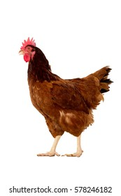 full body of brown chicken ,hen standing isolated white background use for farm animals and livestock theme.