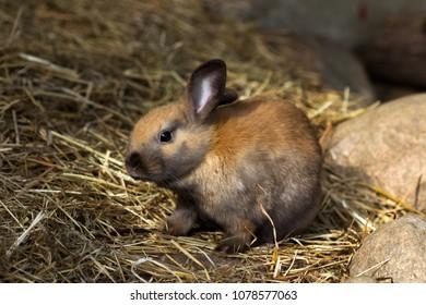 Full body of brown domestic pygmy rabbit.