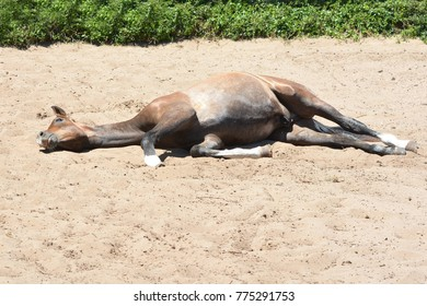 Full body of a brown foal resting and lying in the sand outdoors.