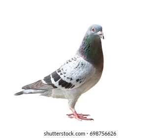 full body of check color homing pigeon show pattern body and wing isolated white