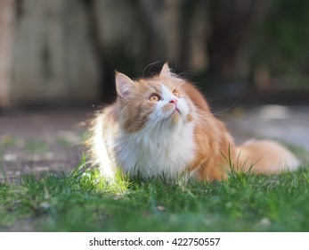 Full Body Color Portrait of Long Hair Bi Color Orange White Traditional Doll Face Persian Cat sitting Outside on Green Grass Hunting